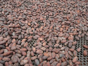 Kakaobohnen beim Trocknen