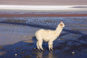 Alpaca © atacama spirit chile travel